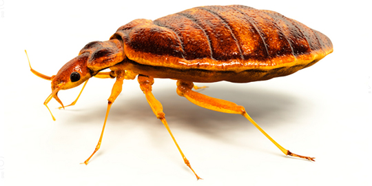 bed bug pst control