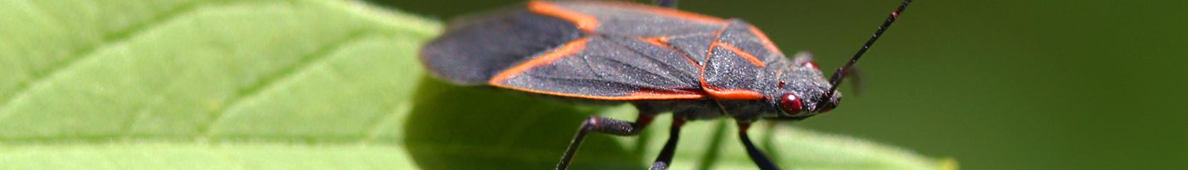 box elder bug pest control