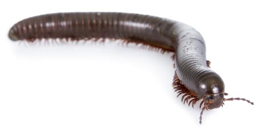 millipede pest control