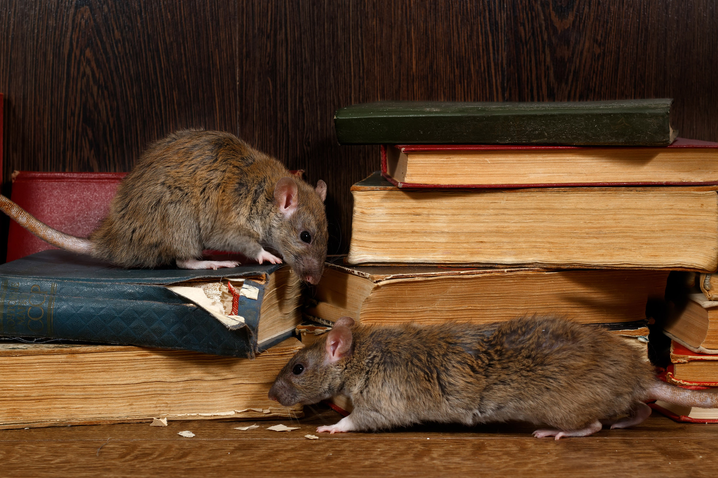 5 Signs You May Have A Rodent Problem Rats