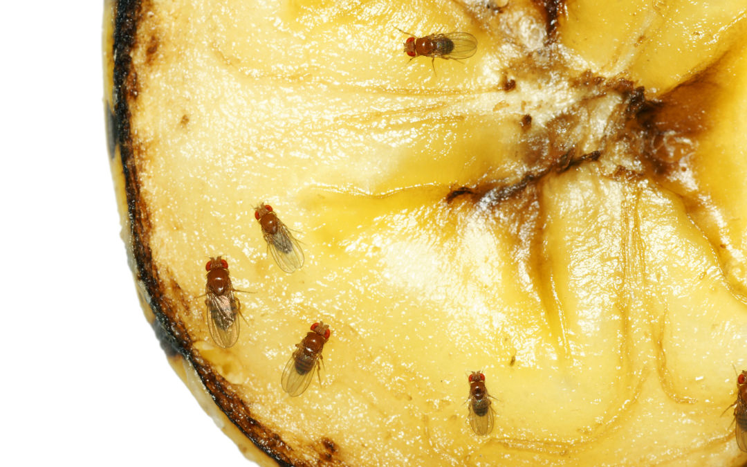 Why Are There Fruit Flies In My Home?