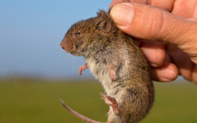 How To Handle Voles