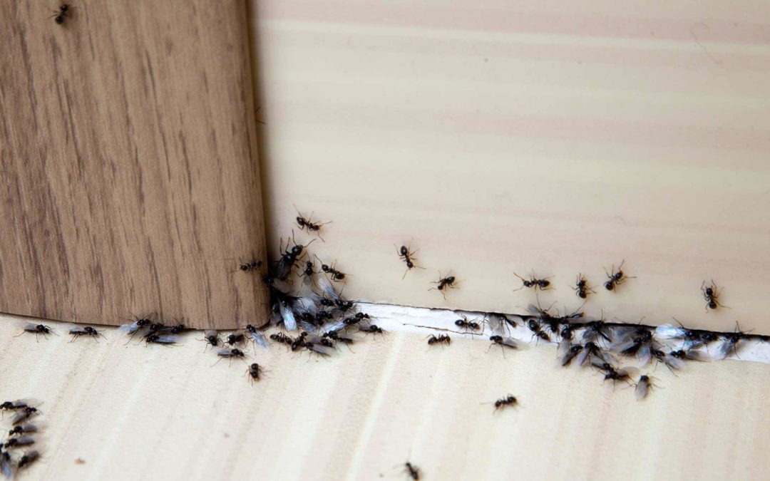 How To Handle Spotting Ants