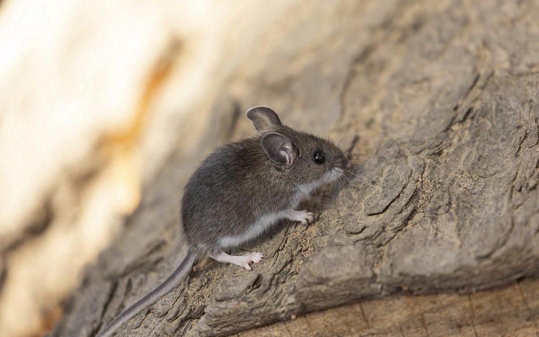 Rats Versus Mice