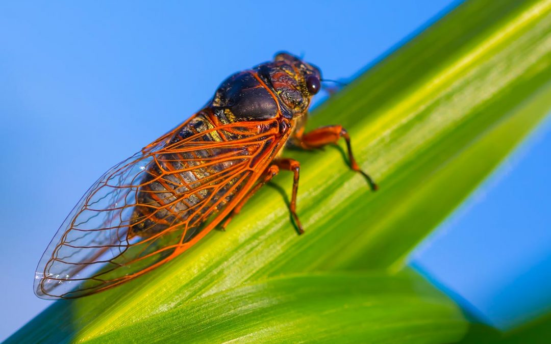 What Are Cicadas?
