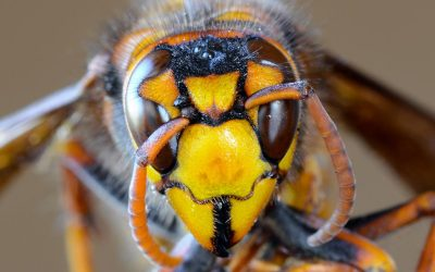 Asian Giant Hornet Status Update